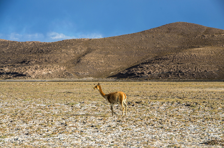 Vicuna (Vicugna vicugna) or vicugna is wild South American camelid, which live in the high alpine areas of the Andes. It is a relative of the llama. Bolivia Stock Photo