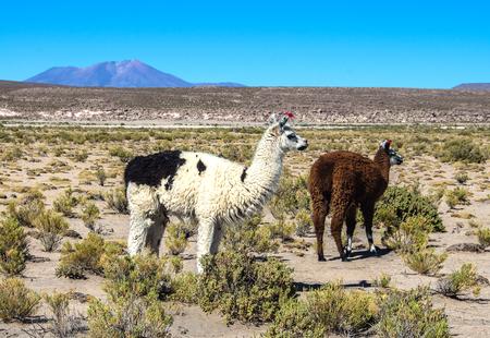 Cute llamas of Altiplano, Bolivia, South America. Wild animals in Bolivia