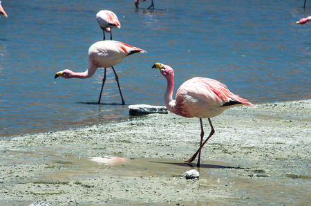 James and Chilean flamingos in Laguna Hedionda located in the Bolivian altiplano near the Uyuni Salt Flat (Salar de Uyuni) in Bolivia, South America.