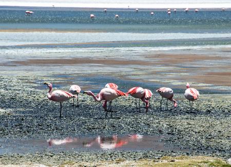 avaroa: James and Chilean flamingos in Laguna Hedionda located in the Bolivian altiplano near the Uyuni Salt Flat (Salar de Uyuni) in Bolivia, South America.