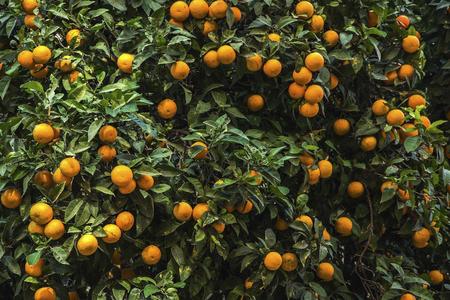 Orange trees with fruits on plantation background