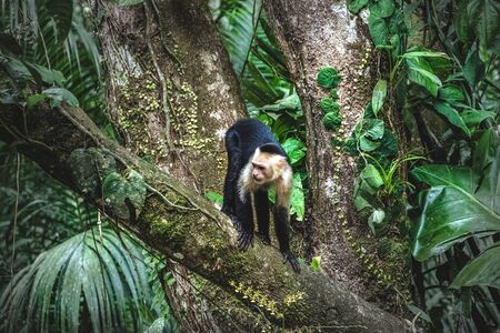 White faced Capuchin Monkey at jungle Costa Rica