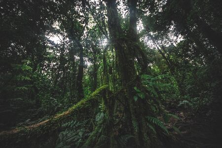Tropical rain forest. Jungle old green tree in Costa Rica