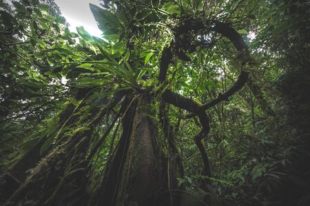 Looking up the trunk of a giant rainforest tree to the canopy, green background, Costa Rica 免版税图像