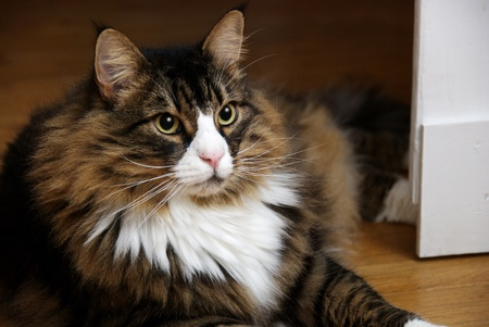 a beautiful male Norwegian Forest Cat lying on wooden floor. The cat has a white nose and V-neck and wide eyes