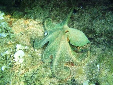 Underwatershot of a wild Octopus, taken in the Mediteranian sea in Greece