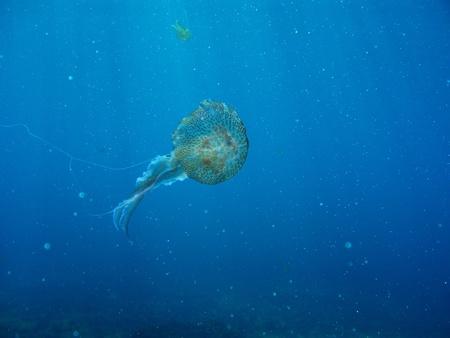 Underwater shot of jelly fish flowating in mediteranean sea Stock Photo - 10019160