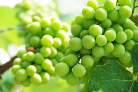 A branch of green grapes Focus on Front photo