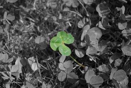 Four leaved clover is the symbol of luck and the logo of the Irish St Patricks Day photo