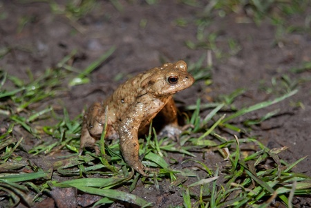 newts: Frogs, toads and newts are hiking every year to a pond or a lake to spawn and to reproduce. Stock Photo