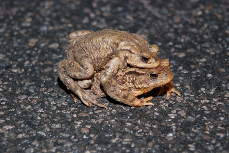 newts: Frogs, toads and newts are hiking every year to a pond or a lake to spawn and to reproduce. Usually there are fences built in Germany to protect wildlife from getting hit by a car Stock Photo