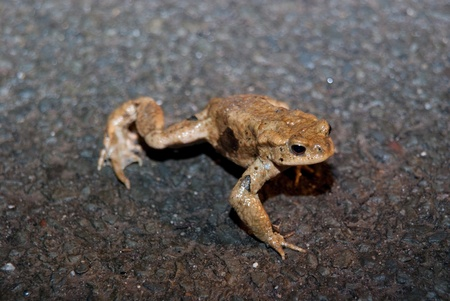 Frogs, toads and newts are hiking every year to a pond or a lake to spawn and to reproduce. photo
