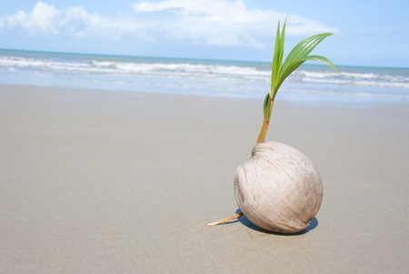 coconut seedlings: A seed of a palm tree ( coconut ) growing on beautiful beach. There are some roots visible as well as the ocean and  lots of copyspace too.