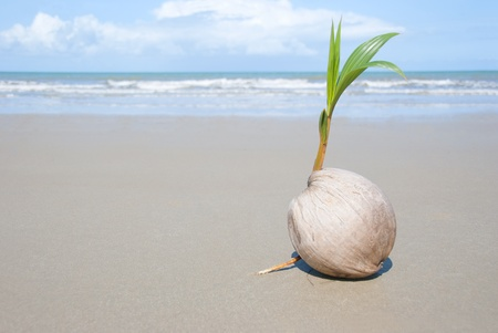 driftwood: A seed of a palm tree ( coconut ) growing on beautiful beach. There are some roots visible as well as the ocean and  lots of copyspace too.