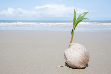A seed of a palm tree ( coconut ) growing on beautiful beach. There are some roots visible as well as the ocean and  lots of copyspace too.