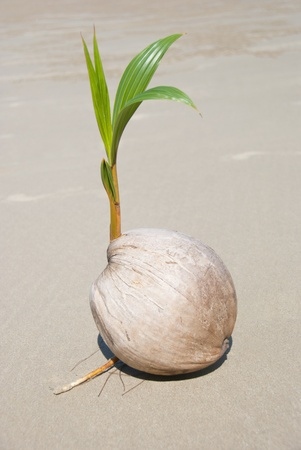 A coconut sprout is growing on beach photo