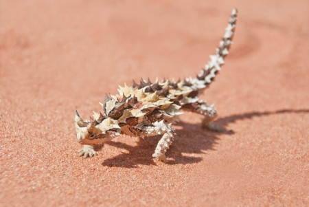 Thorny devil found in the outback, the red center of Australia