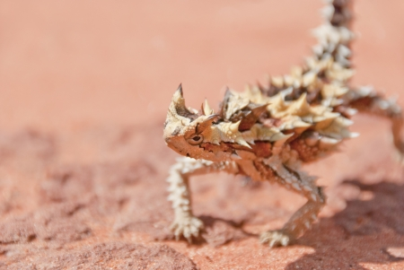 Thorny devil found in the outback, the red center of Australia  Typical red soil is copy space