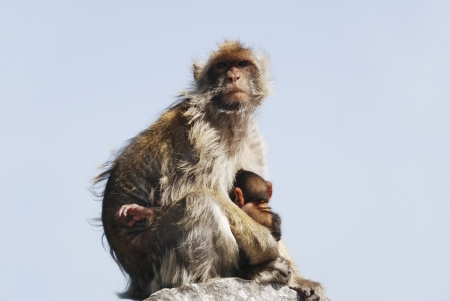 A mother ape sitting with its child on a rock in Gibraltar (UK) and is breastfeeding the small one photo