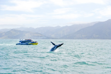 Massive humpback whale playing in water next to whale whatching boat and scenic view of mountains near Australia and New Zealand