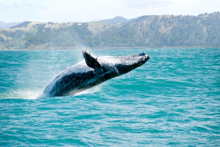 Massive humpback whale playing in water captured from Whale whatching boat photo