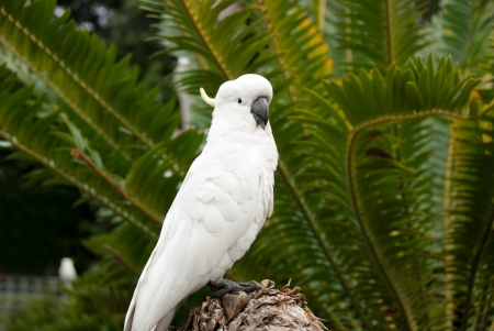maccaw: White Cockatoo posing in front of tropical palm trees Stock Photo