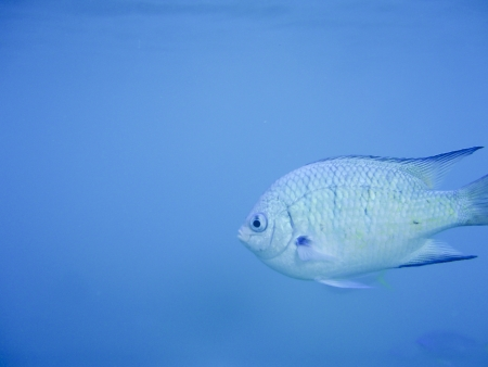 Fish on blue background with copy space swimming near Great Barrier Reef Australia. Underwater shot photo