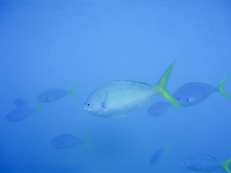 Small shoal of fish near Great Barrier Reef Australia. Underwater shot photo