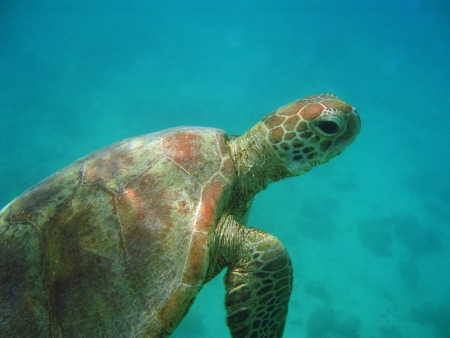 Sea Turtle swimming in turquise water of Australias west coast. Underwater image. photo