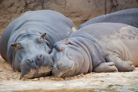 Hippo mother and child resting at riverbed in Africa