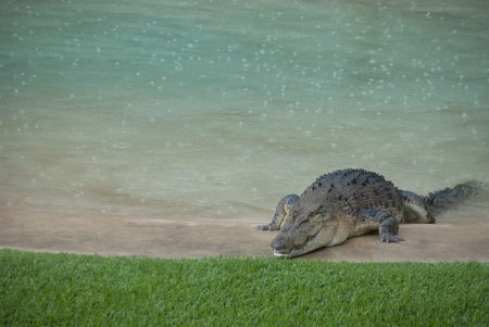 salt marsh: Huge crocodile crawling over edge of outdoor swimming pool onto green gras  Dangerous natural introuder on private property  Stock Photo