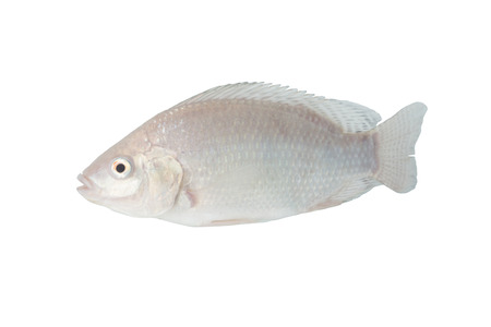 Tilapia on white with clipping path Imagens - 40920019