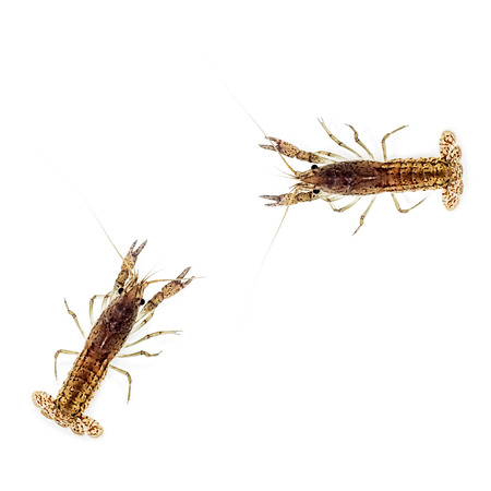 clones: marbled crayfish on white freshwater shrimp all those are female clones reproducing by parthenogenesis