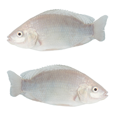 Tilapia on white with clipping path