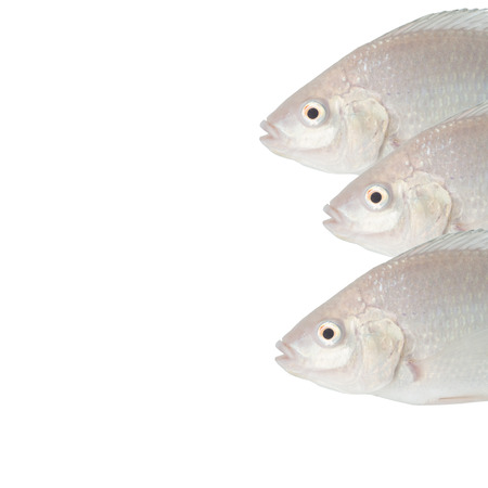 white tilapia background for your seafood restaurant Imagens