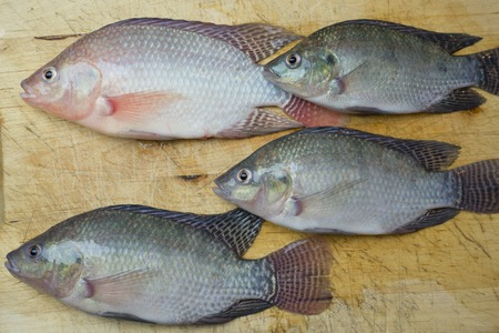 tilapia fish crop harvest. seafood preperation in urban kittchen. sustainable aquaculture
