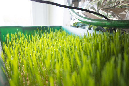 Growing wheatgrass the healthy super food Imagens - 44498383