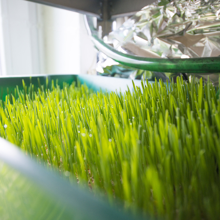 Growing wheatgrass the healthy super food