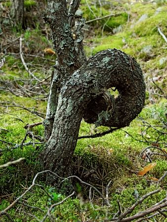 Stem of the alive wild pine enfolded in loop form photo