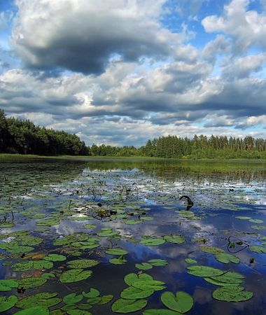 tightly: On foregrounds lake tightly grow water lilies, on back plan pine forest, on the sky - much clouds. Stock Photo