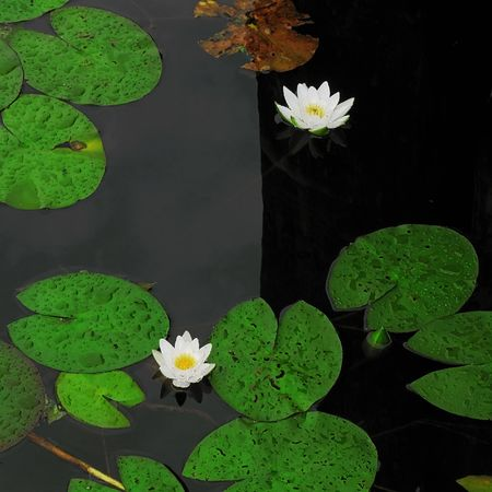 on river water  lilies and their sheets after rain. photo