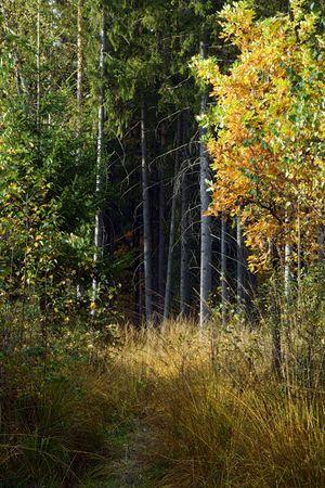 oak yellow sheets illuminate sunbeams - under fir-tree forest darkness photo