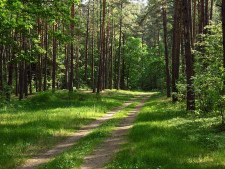 earth road: strada in terra giovane pineta illuminato un raggio di sole