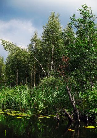 wildness: bulrushes and young trees grow on boggy coast wildness river Stock Photo