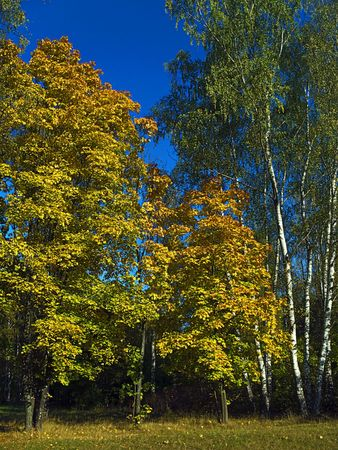 admire:  the maple foliage is yellow, but  of the birch foliage - green Stock Photo