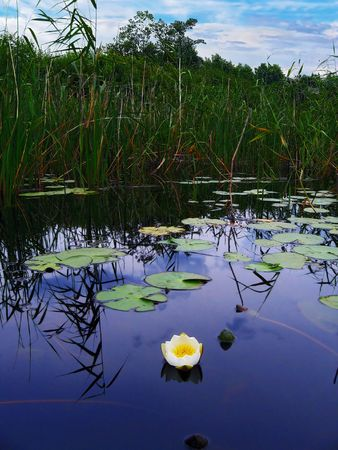 lilia: blue lake,  white lilia, cloudy sky Stock Photo