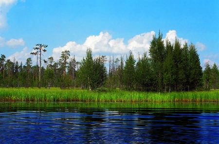fine cane: wild pine forest on green meadow lake coast