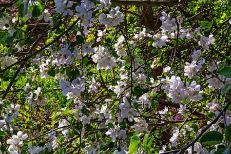 pinkish: Pinkish white apple blossoms.