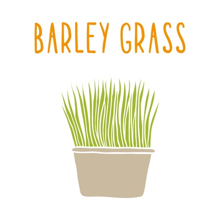 Barley grass. Vector hand drawn illustration.