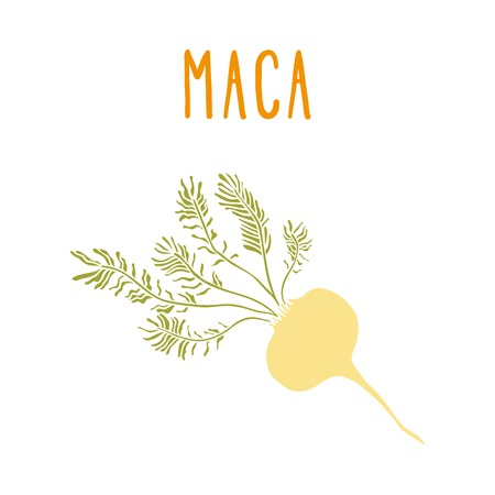maca: Maca root. Vector hand drawn illustration.
